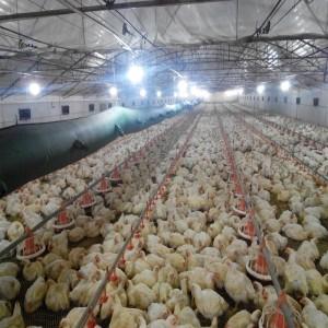 Potassium Diformate: Necrotizing enteritis and maintaining efficient chicken production