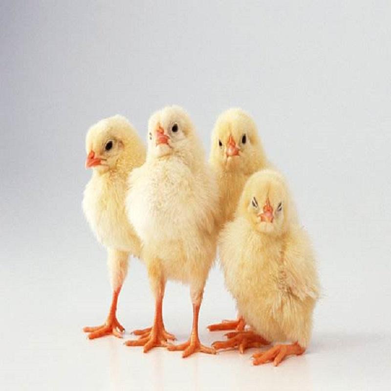 Aplicación de diformato de potasio na alimentación de polo