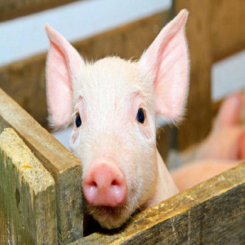 Feed additive Pig
