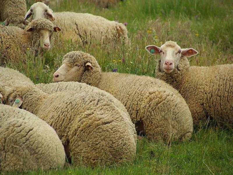 Ruminants Sheep