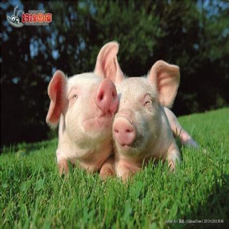 Tributyrin Pig