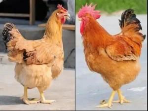 Antibiotic Alternative Feed Grade Tributyrin 95% For Broiler Chicken